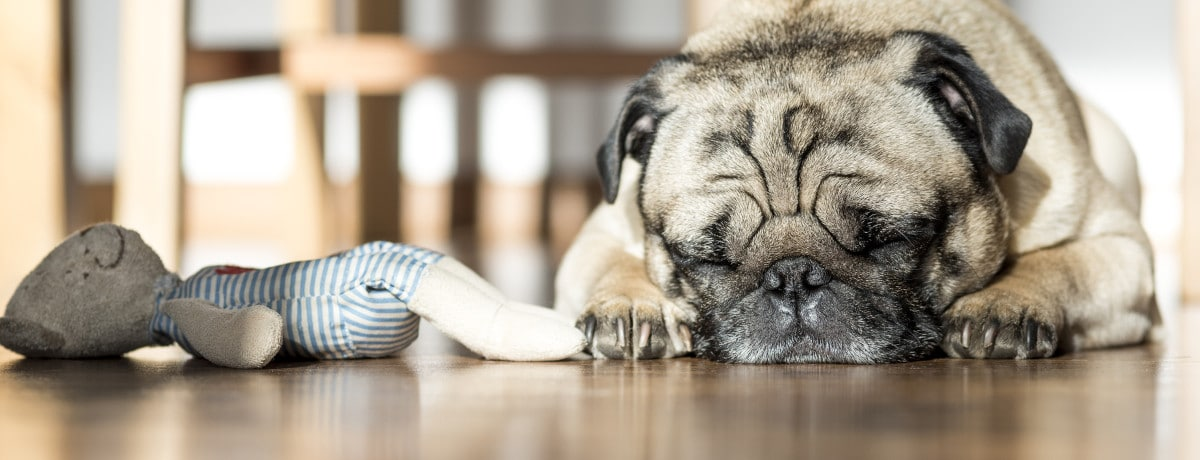 Older pet pug laying next to his favorite pet toy.